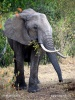 Afrikanische Elefant