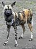 Afrikanische Wildhund