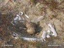 Austernfischer - Nest