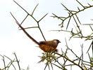 Braunflügel-Mausvogel