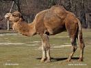 Dromedar, Einhöckriges, Arabisches Kamel