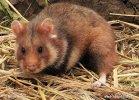 Feldhamster, Europäischer Hamster