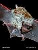 Fransenfledermaus - Weibchen mit jungen