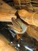 Gelbflügelfledermaus