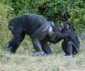 Gemeine Schimpanse, Gewöhnlicher Schimpanse, Schimpanse