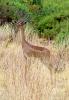 Giraffengazelle, Gerenuk