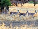 Grant-Gazelle