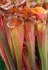 Grüne Schlauchpflanze
