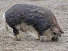 Hausschwein - mangalica