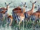 Impala, Impala-Antilope