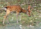 Japanese Sika Deer, Dybowski Sikahirsch