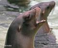 Kalifornische Seelöwe