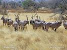 Ostafrikanische Oryx, Beisa-Antilope