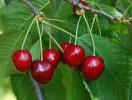 Prunus avium var. juliana