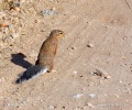 Schlichtborstenhörnchen