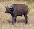 Steppenbüffel, Schwarzbüffel