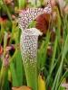 Weiße Schlauchpflanze