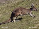 Westliche Graue Riesenkänguru