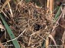 Zwergmaus (Nest)