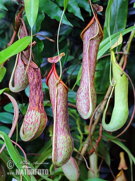 Nepenthes alata (Nepenthes alata)