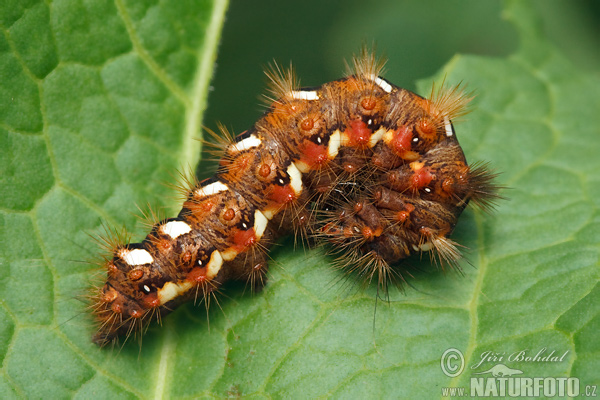 Ampfer Rindeneule - Raupe (Acronicta ruminis)