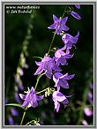 Acker - Glockenblume