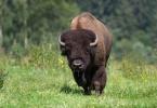 Amerikanischer Bison