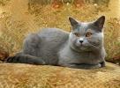 Britisch Kurzhar Katze - Farbe blau