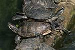 Buchstaben Schmuckschildkröte