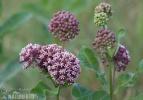 Gewöhnliche Seidenpflanze