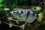 Gewöhnlicher Scgützenfisch
