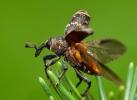 Großer brauner Rüsselkäfer