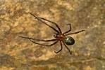 Höhlenradnetzspinne