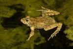 Iberischer Wasserfrosch