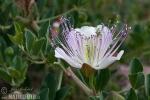 Kaperblüte