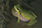 Kleinasiatischer Laubfrosch