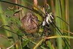 Echte Radnetzspinnen