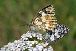 Schachbrett (Schmetterling)