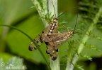 Skorpionsfliegen