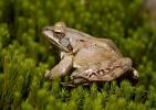 Springfrosch