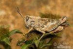 Wanderhenschrecke