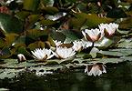 Weiße Seerose