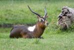 Weißnacken Moorantilope