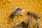 Westliche Honigbiene - Drohn