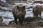 Wild Schwein