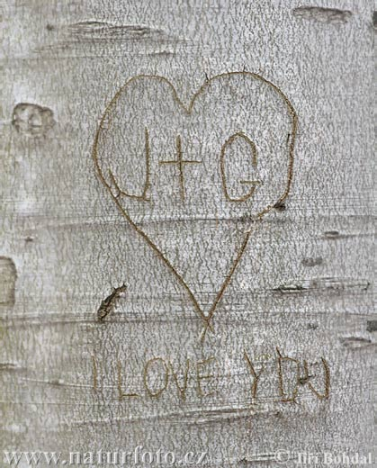 I love you (Fagus sylvatica)
