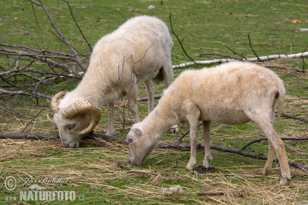 Ouessant Schaf (Ovis orientalis aries Ouessant)