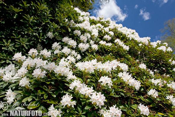 rhododendron bilder rhododendron fotos naturfoto. Black Bedroom Furniture Sets. Home Design Ideas