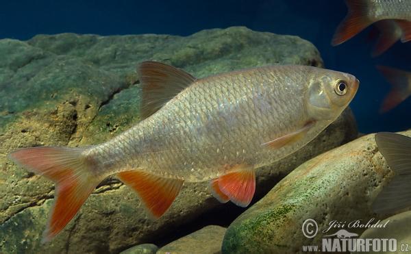 Rotfeder bilder rotfeder fotos naturfoto for Gartenteichfische arten