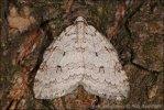 Birken-Moorwald-Herbstspanner